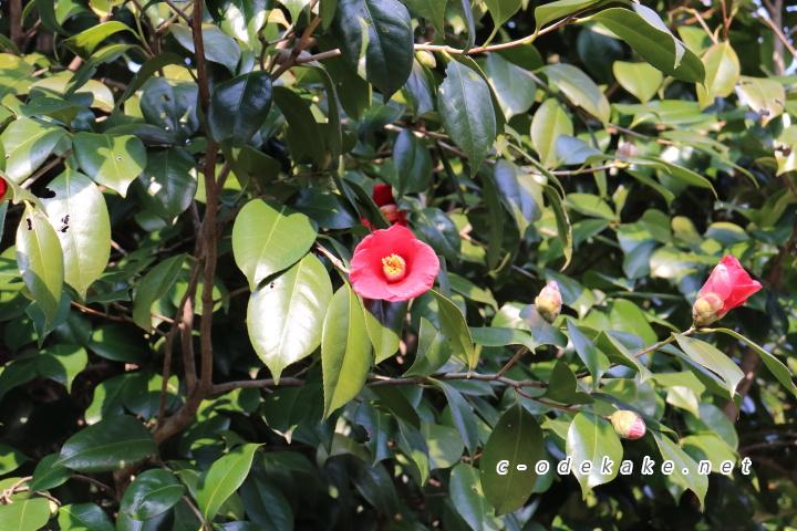 揚倉山健康運動公園できれいに咲くツバキ