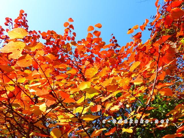 おおの自然観察の森ーベニマンサクの紅葉