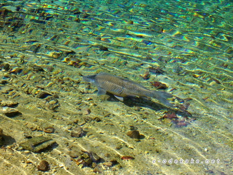 別府弁天池を泳ぐ魚