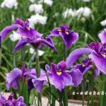広島市植物公園の花しょうぶ
