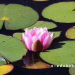 極楽寺山蛇の池の睡蓮