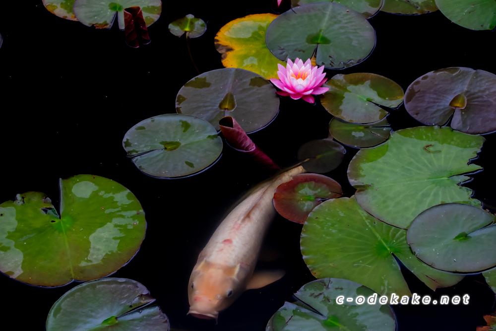 蛇の池のスイレン(極楽寺に倉重ルートから登る)