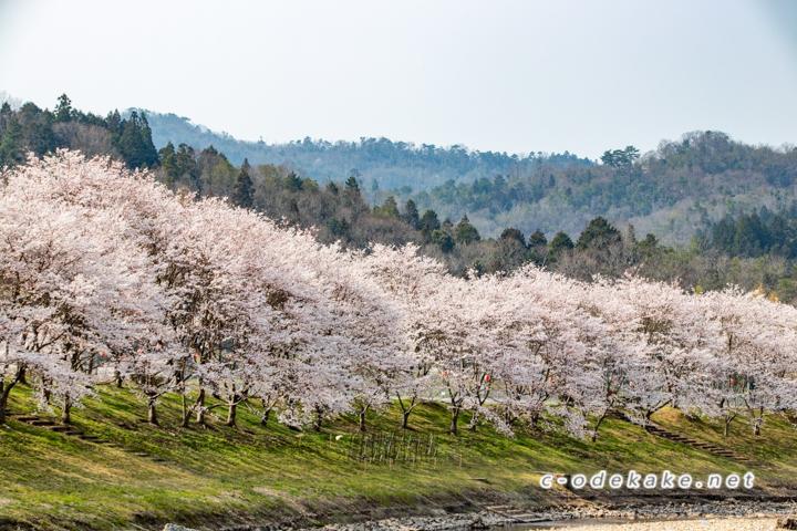白竜湖の桜