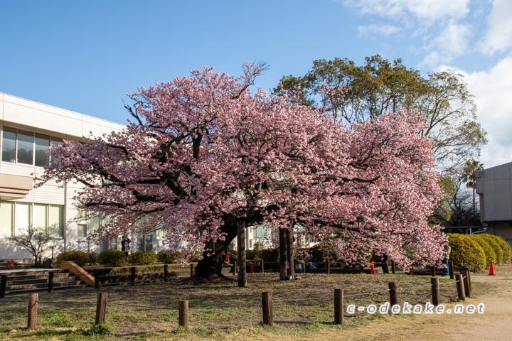 向島小学校の蓬莱桜
