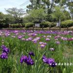 吉香公園の花しょうぶ園