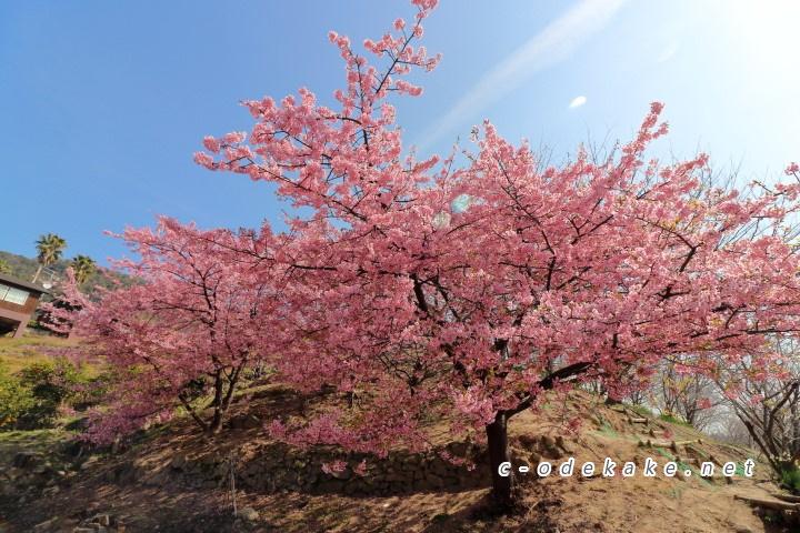 県民の浜の河津桜