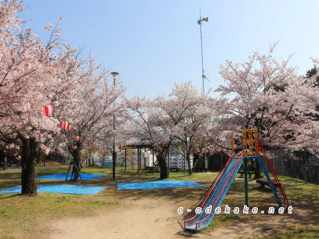 海老山公園の桜