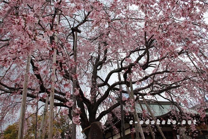 下から見上げたしだれ桜