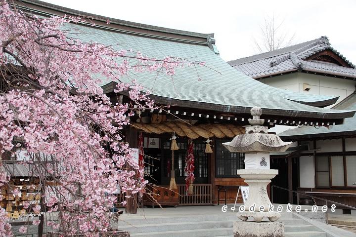 拝殿としだれ桜
