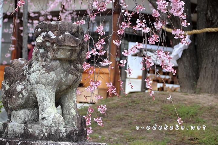 狛犬としだれ桜