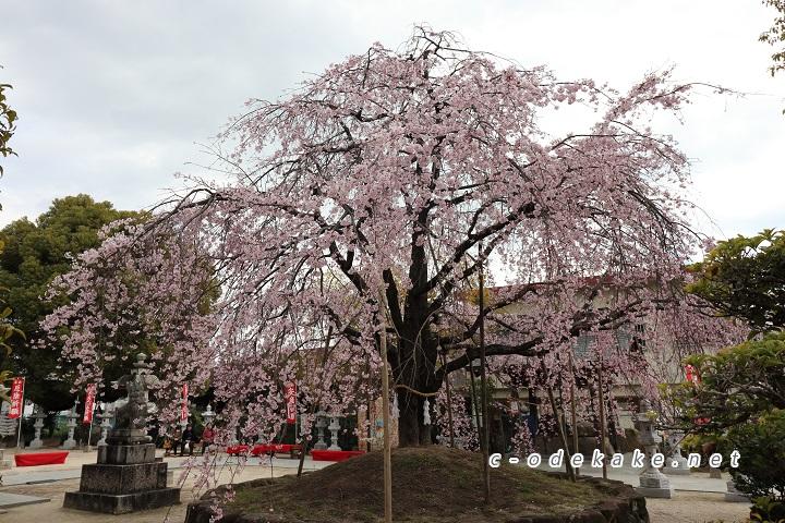 観音神社のしだれ桜全景