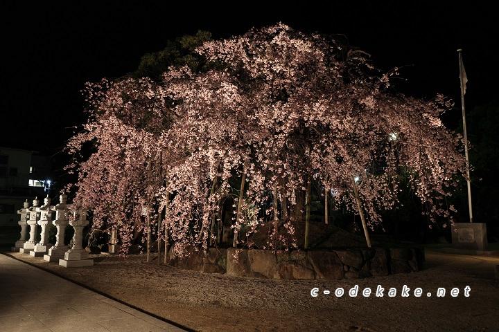 しだれ桜ライトアップ全景