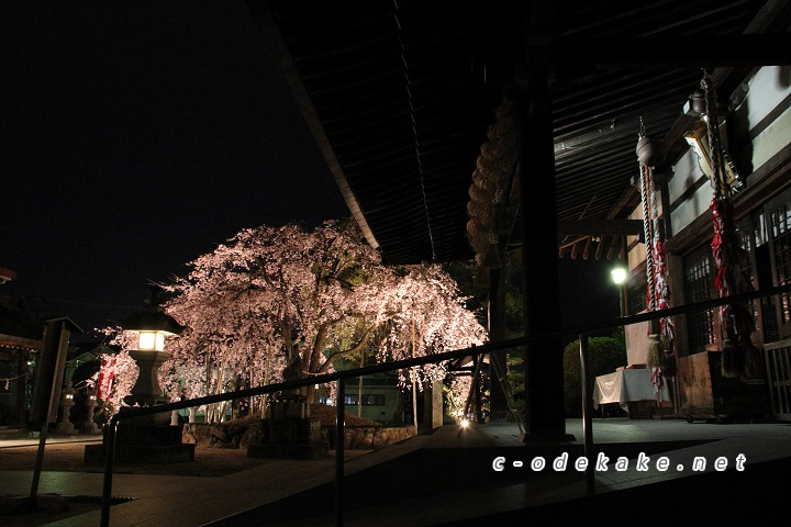 拝殿としだれ桜ライトアップ