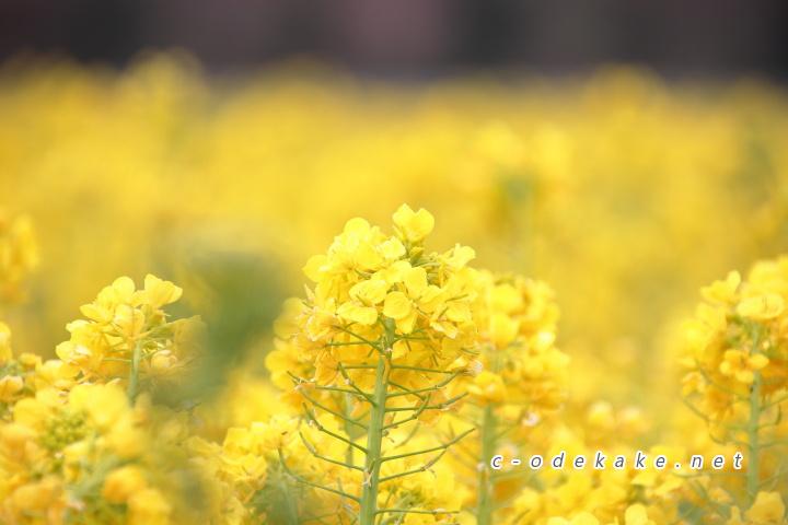 菜の花拡大写真