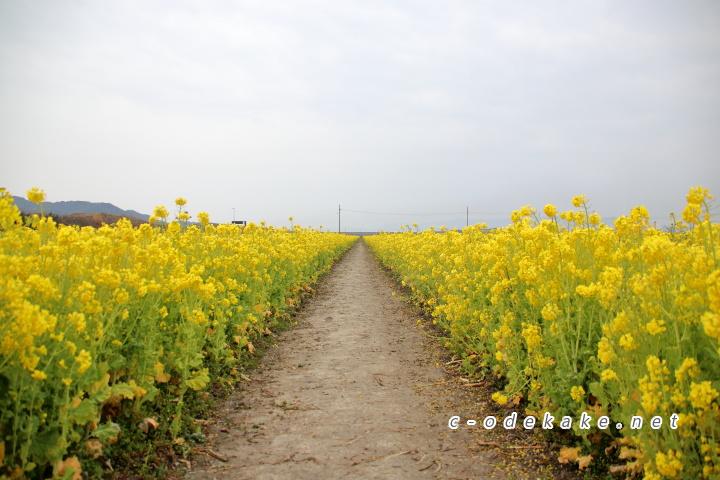 菜の花畑の小道