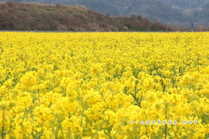 笠岡ベイファームの菜の花畑2