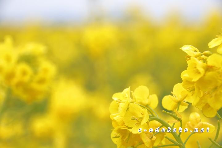 笠岡ベイファームの菜の花1
