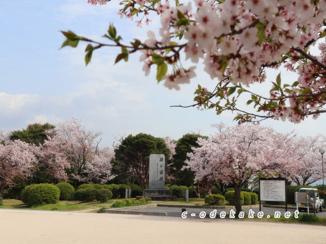 桂公園の桜