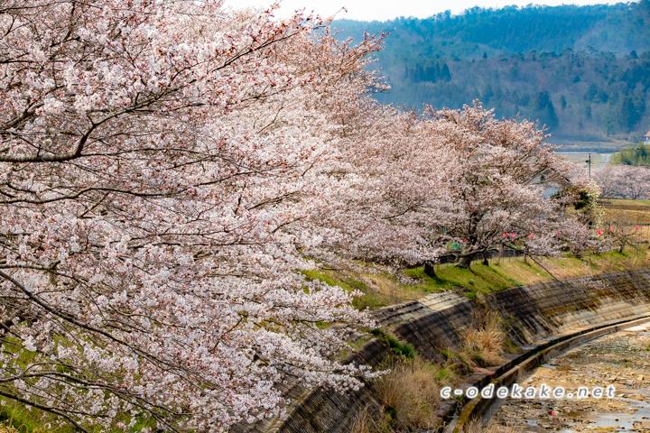 美波羅川千本桜