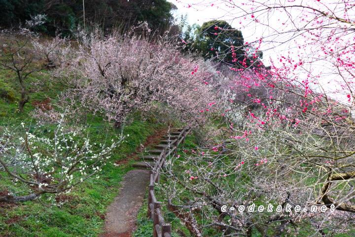 満開の梅(ピンクと赤)