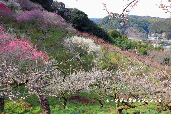 三隅梅林公園の梅(別角度から)