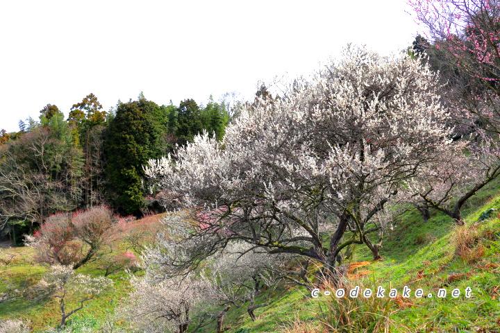 三隅梅林公園の満開の梅