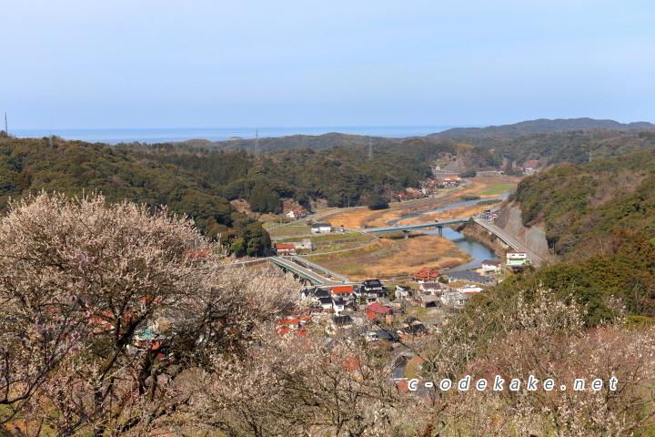 三隅梅林公園の梅と日本海