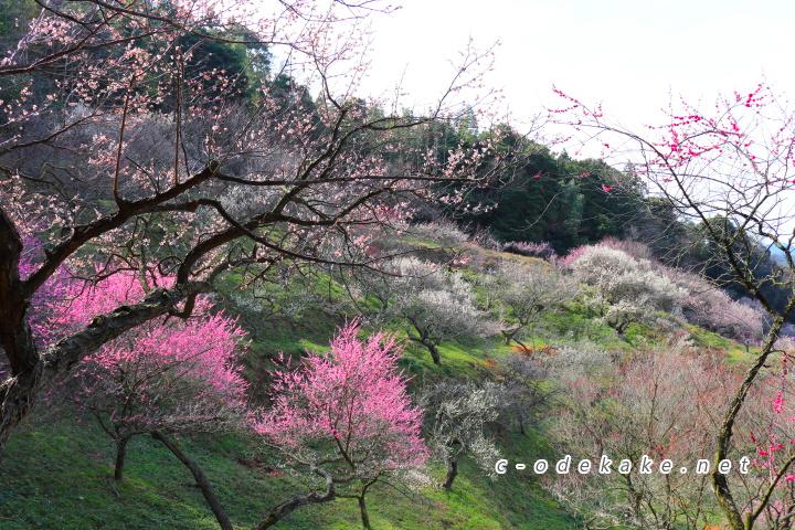 三隅梅林公園の梅