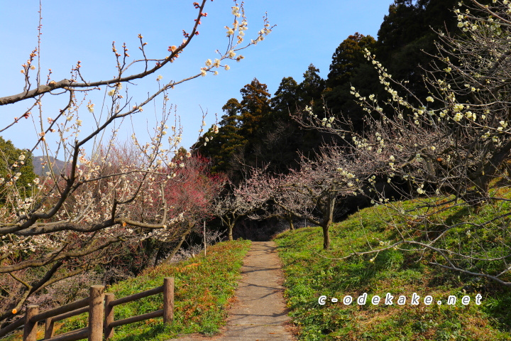三隅梅林公園中段
