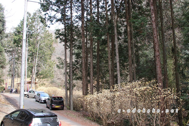 ミツマタの群生地の駐車状況