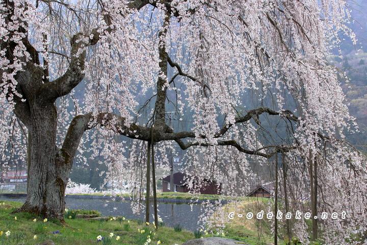 中原のしだれ桜