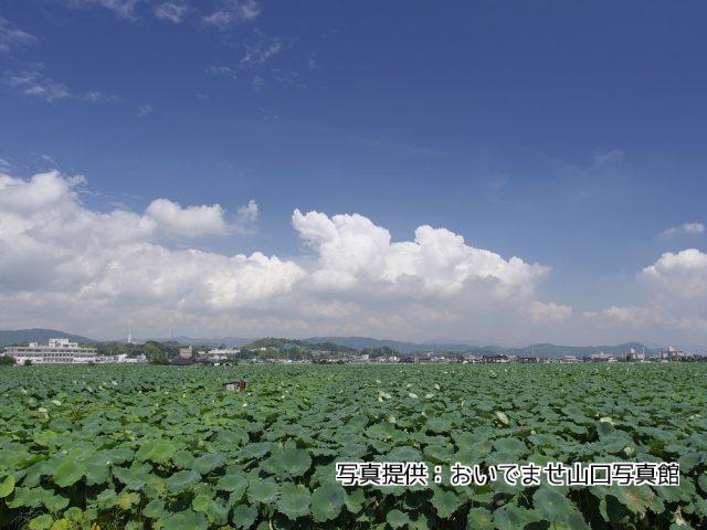 尾津のハス田