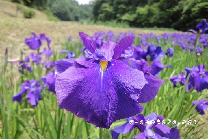 小倉山公園花ショウブ園