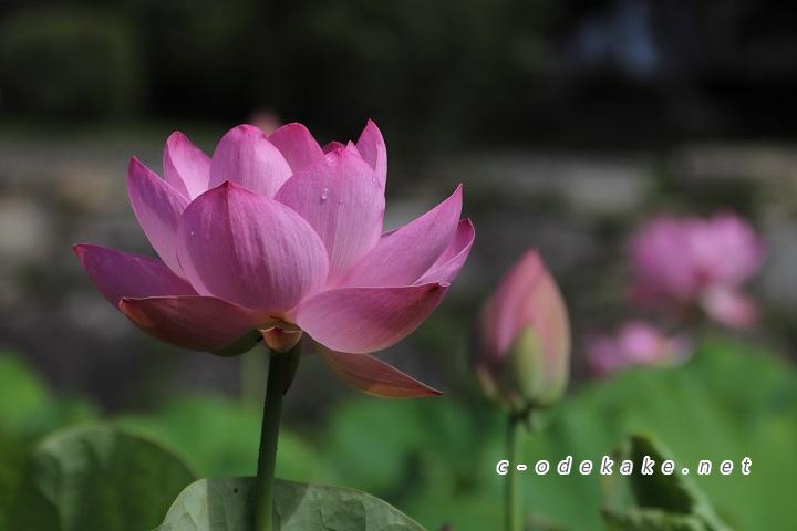 ハスの花のアップ