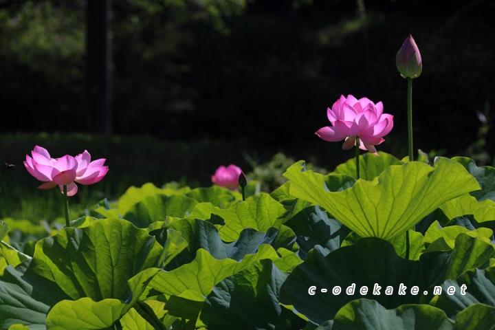 開いた蓮の花とつぼみ