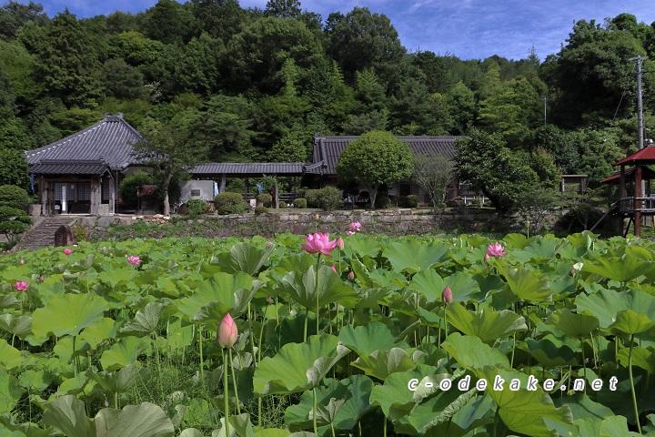 棲真寺をバックに咲く蓮の花