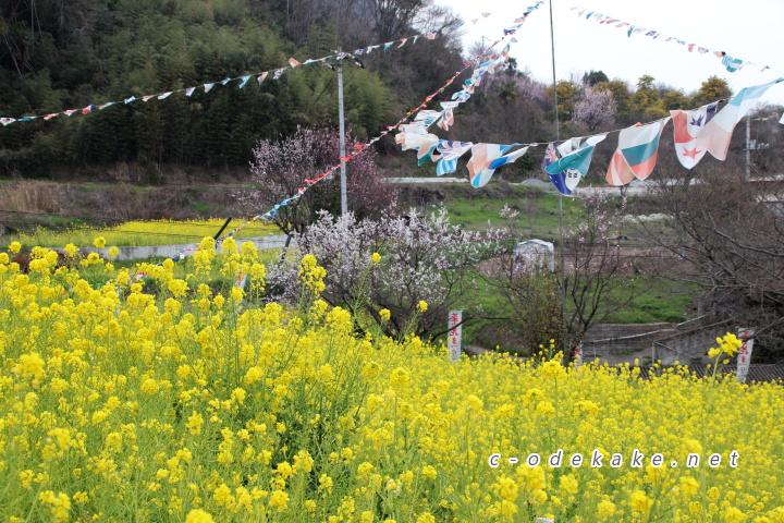 菜の花と万国旗
