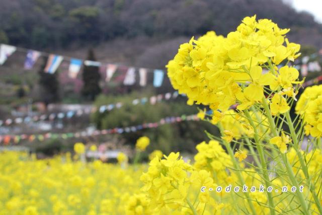 田尻町の菜の花畑と杏の花