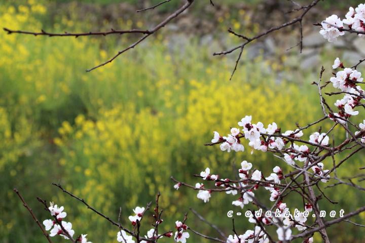菜の花と杏の花