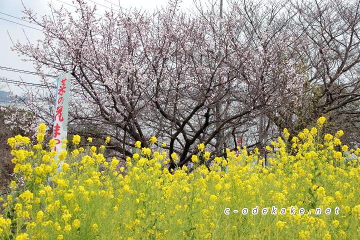 菜の花と杏の木
