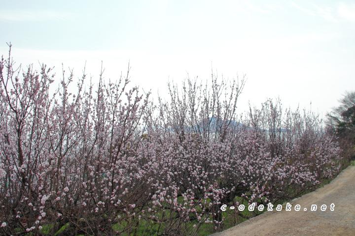 田尻町の杏の木