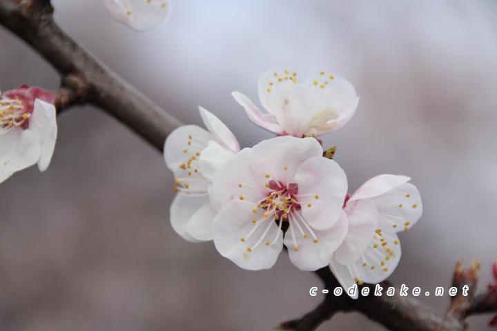 杏の花アップ