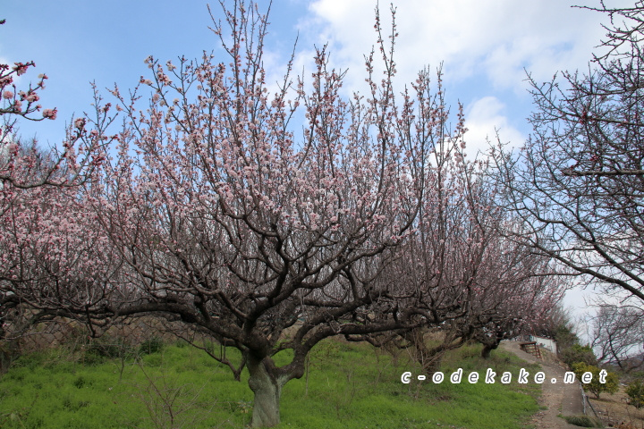 満開の杏の木