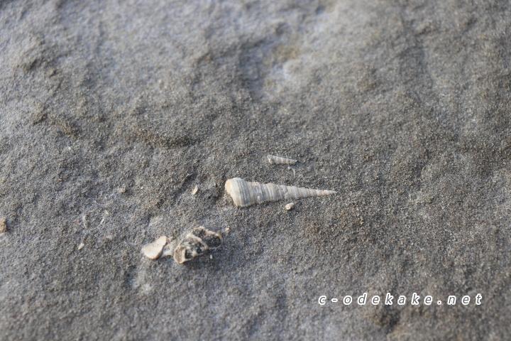 石見畳ヶ浦貝の化石