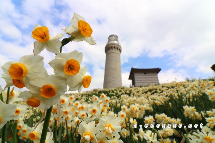 角島灯台公園のスイセン